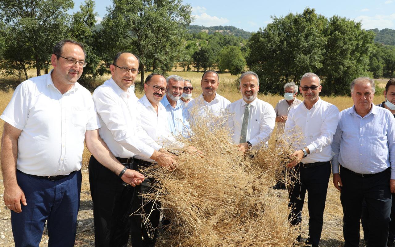 Bursa'da siyez buğdayı hasadı
