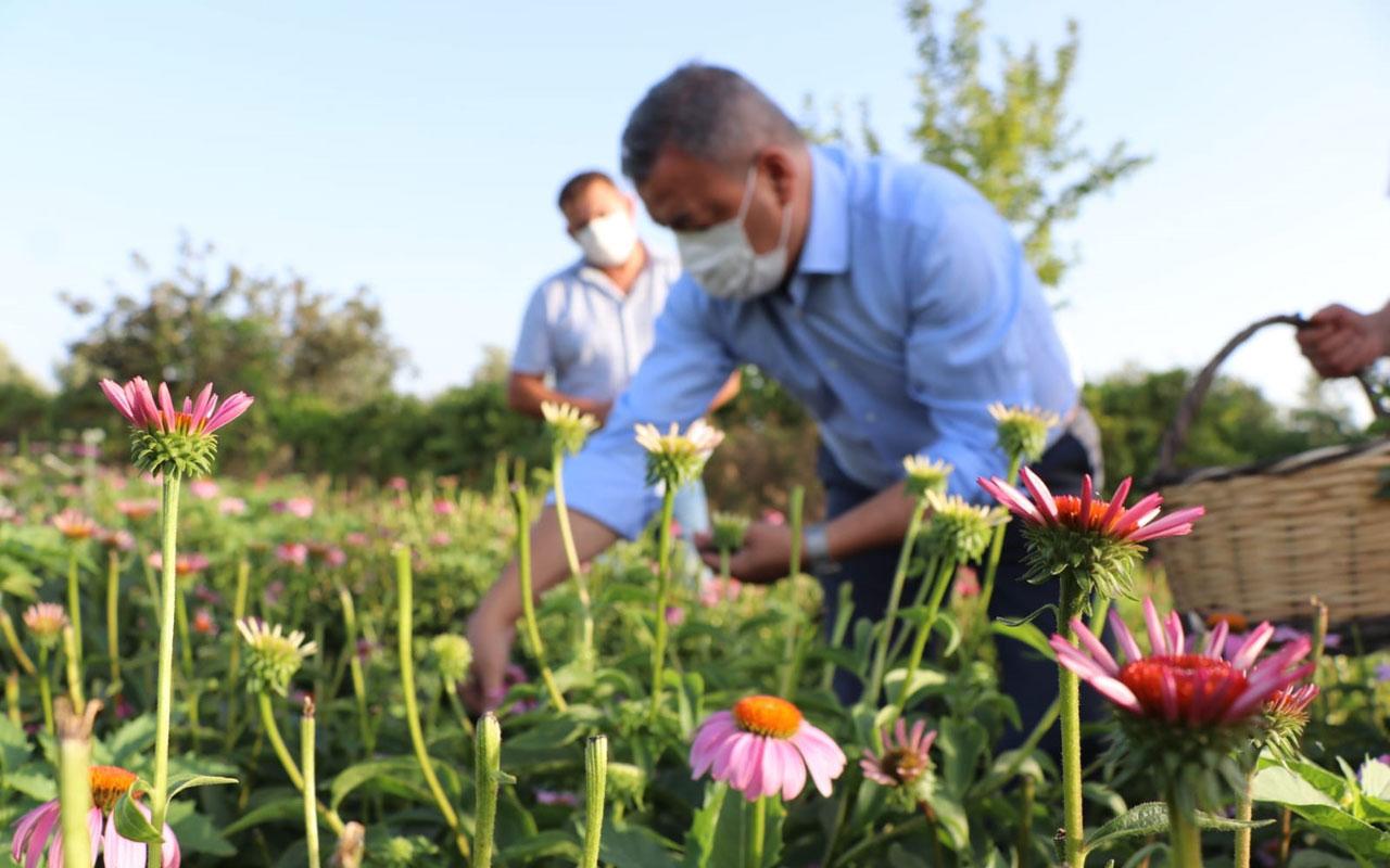 İzmir Seferihisar'da hibe ekinezyalarda hasat zamanı